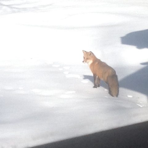 Fox Pays Visit 2020