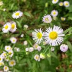 Daisy Fleabane - Fresh Pond Cambridge MA