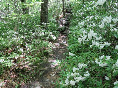 Mountain laurel in bloom near Wantastiquet summit